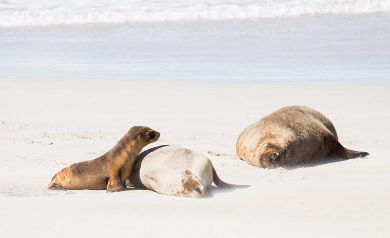 Seal Bay on kangaroo Island is where you can see Australian sea lions up close on the beach Click to read more