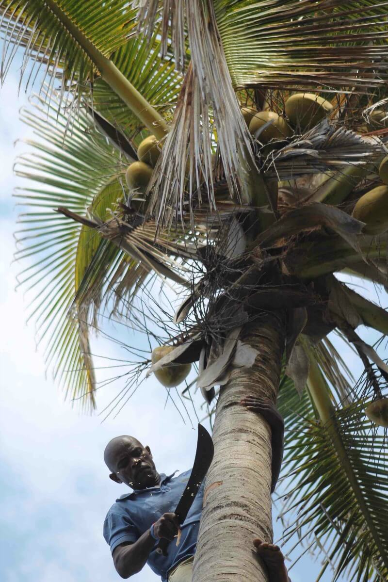Endless supplies of fresh coconuts when you visit Mozambique