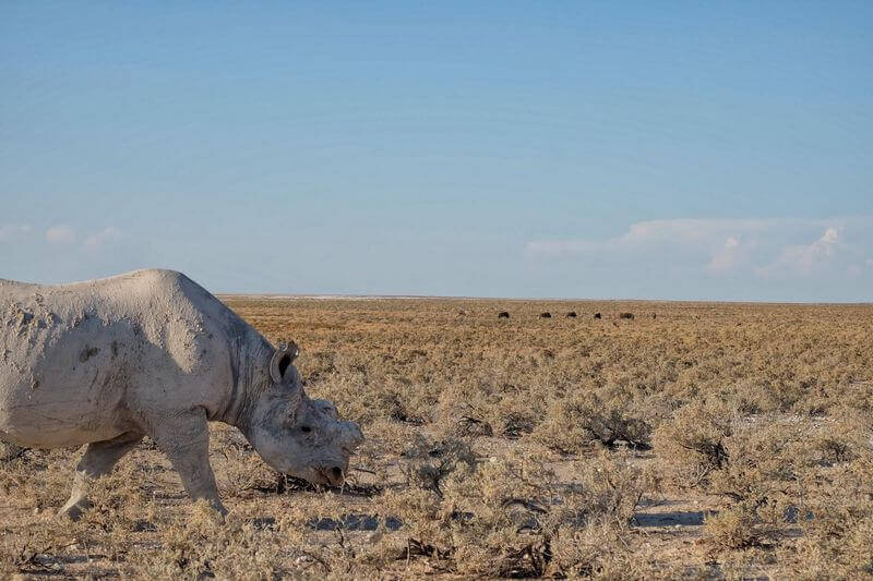 Seeing rhinos in the wild is one of the coolest things to do in Botswana