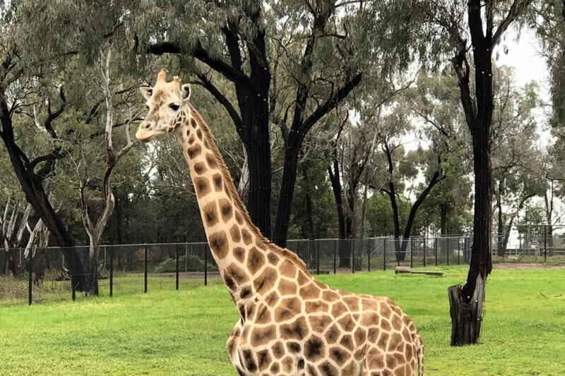 Seeing a giraffe at the Taronga Western Plains Zoo is one of the best things to do in Dubbo with kids