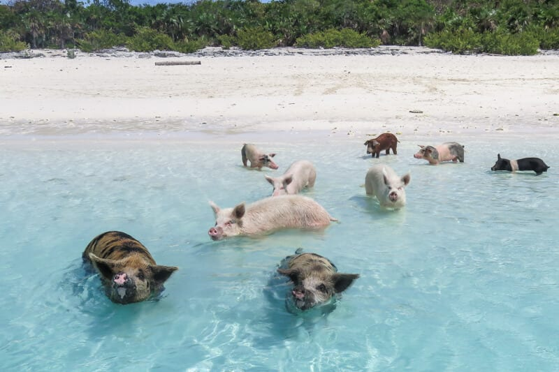 The Exuma Pigs (swimming Pigs) Bahamas on Exuma at Staniel Cay. Visit the swimming pigs on a pig island bahamas tours. From FLorida to Bahamas with Bahamas Air Tours flights