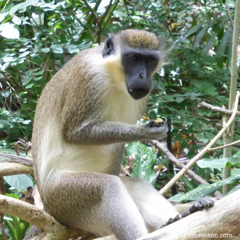 The famous Green Monkeys of Barbados