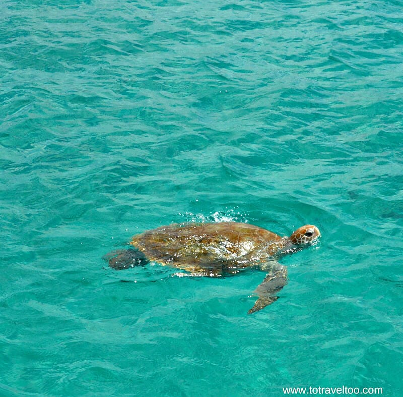 Snorkeling with turtles - things to do in Barbados