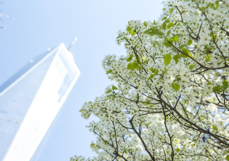 The Survivor Tree and Freedom Tower