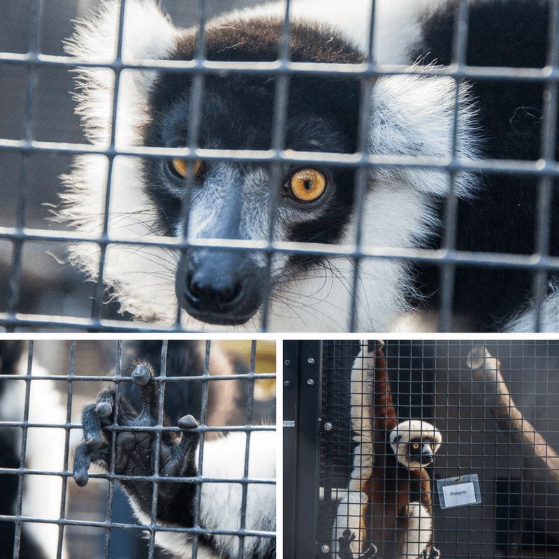 Duke Lemur Center in Durham, NC