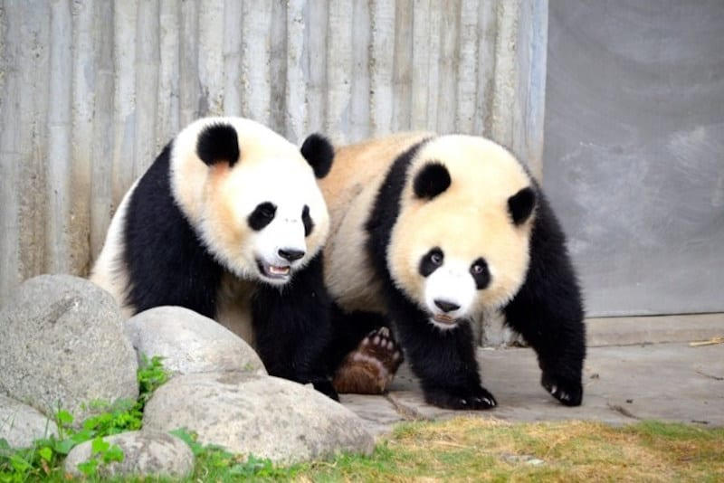 Don't miss the Panda Reserve in Chengdu, China