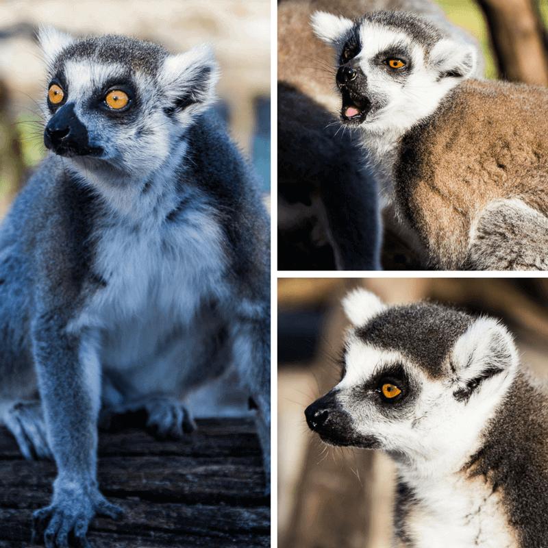 Feeding the Lemurs at Wilderness Safari in Central Florida
