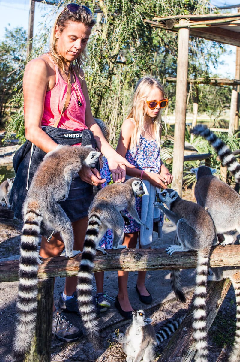 Feeding the Lemurs at Wilderness Safari in Central Florida