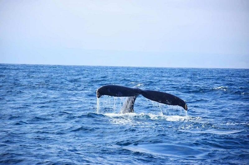 Humpback whale on Isla de la Plata, Ecuador
