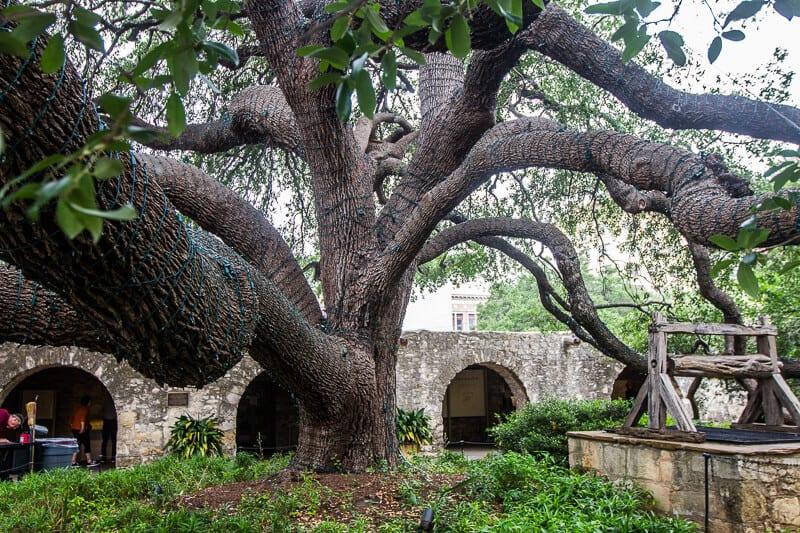 100 year old tree Alamo San Antonio Texas
