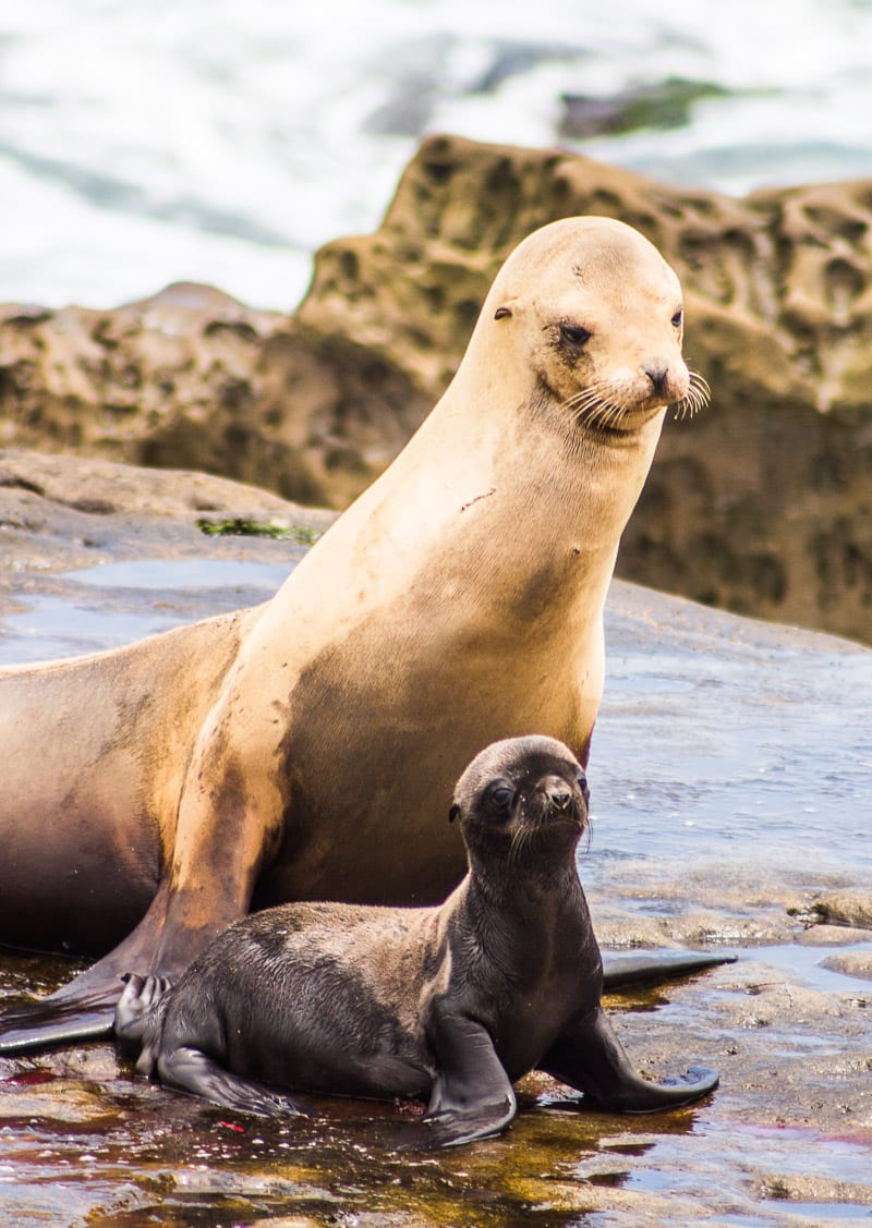 Seals at La Jolla Cove, San Diego, California
