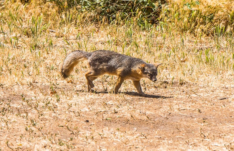 Fox on Channel Islands National Park, California