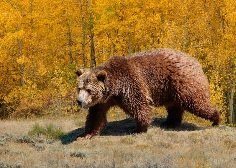 Bear in the Fall Montana (800 x 572)