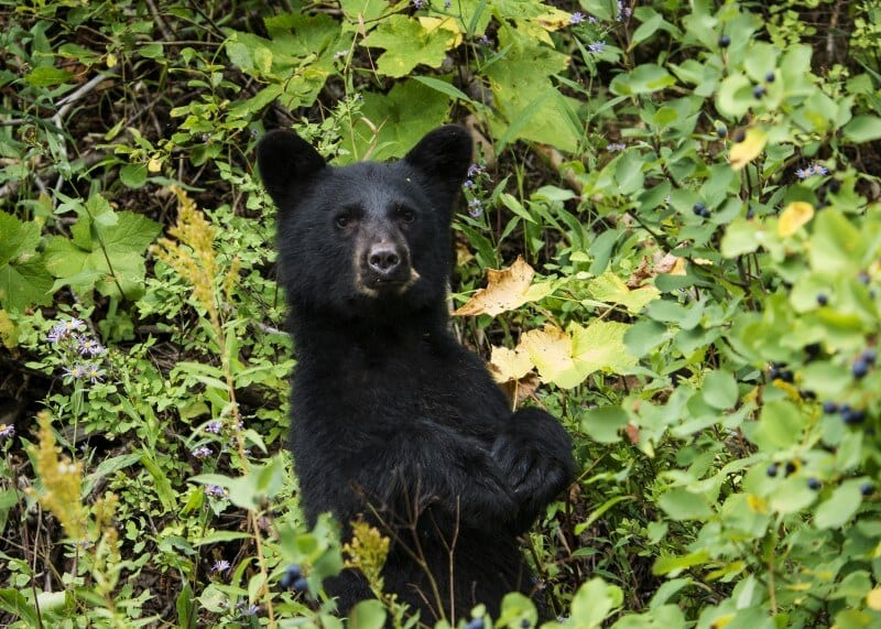 osos negros montana (800 x 571)