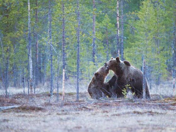 Grizzly bear usa road trip
