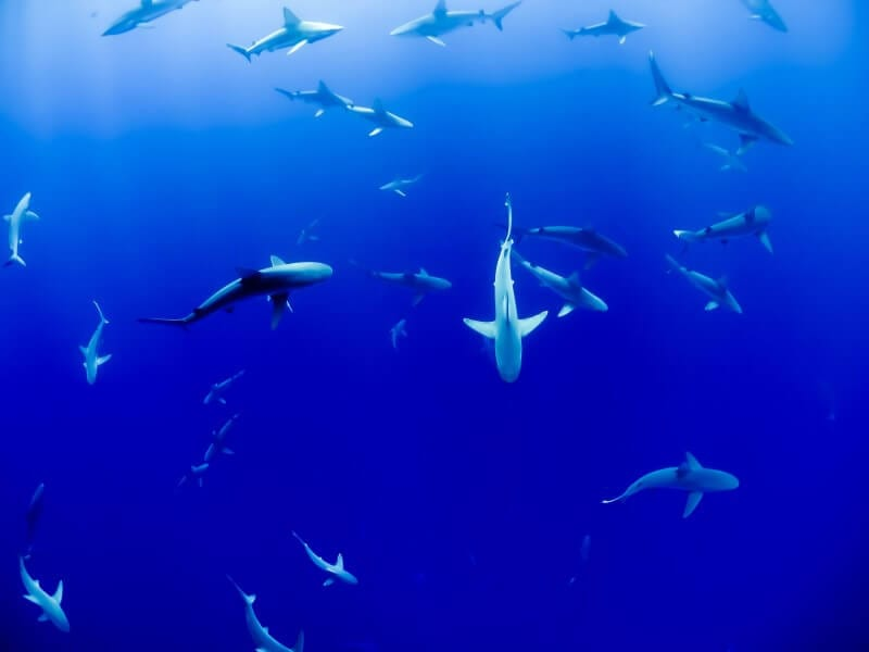 sharks in australia