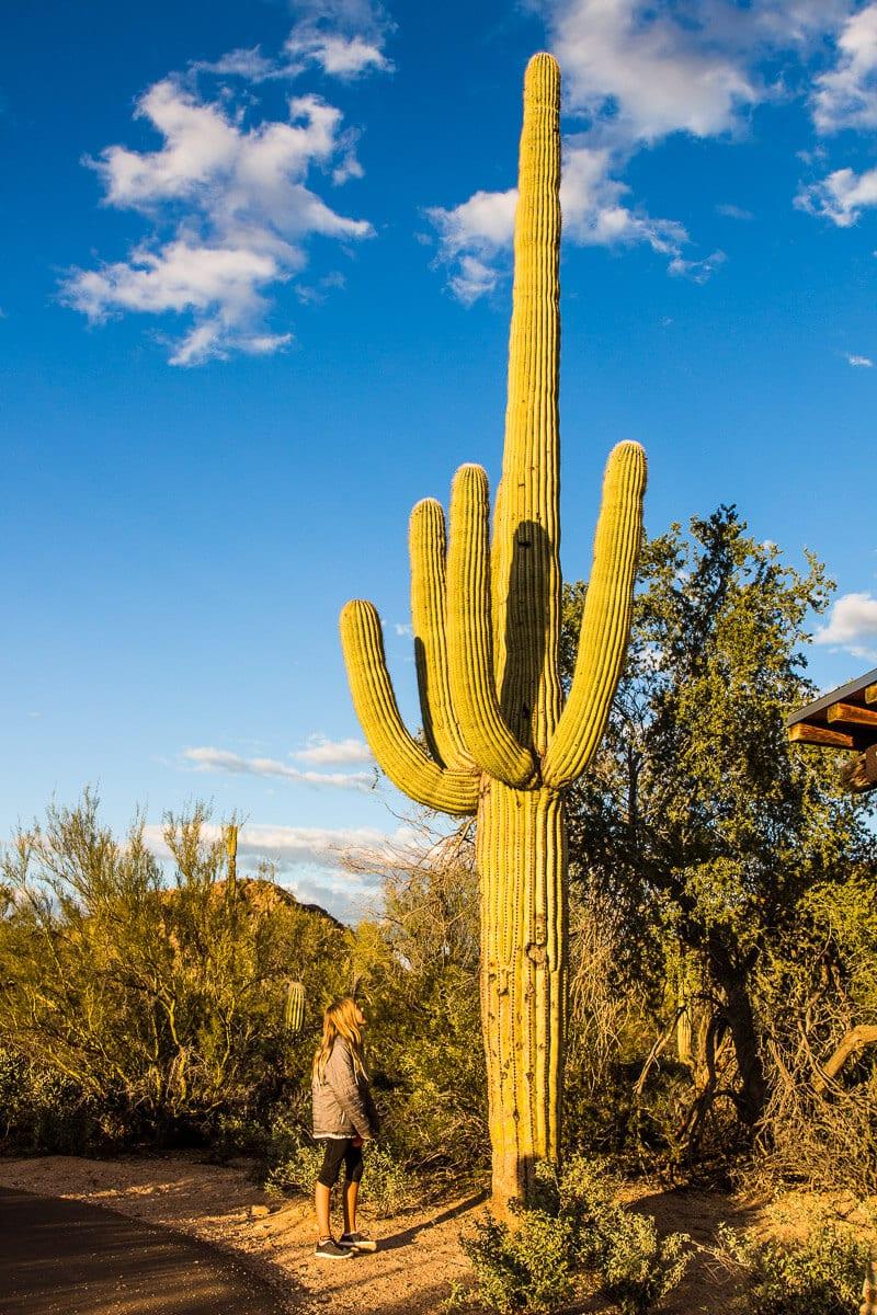 Cactus in Saguaro National Park in Tucson, Arizona
