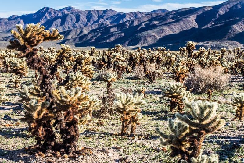 pinto-drive-joshua-tree-np-1 ▷ Comente sobre 30 lugares increíbles para visitar en California para su lista de deseos de California en 9 de las mejores playas de California