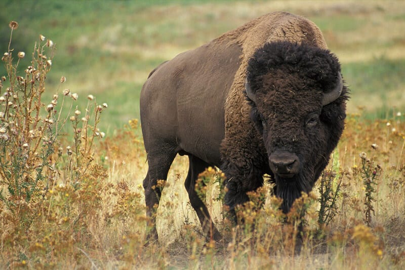 Bison in the Bialowieza Forest