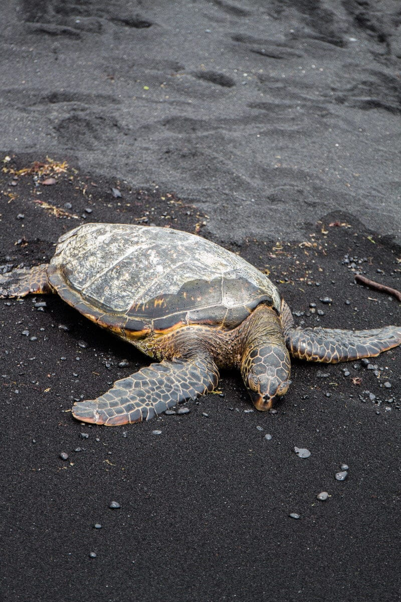See Green Turtles on Black Sand Beach