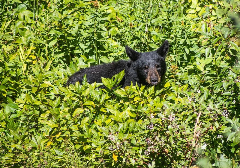 Black bear in Glacier National Park