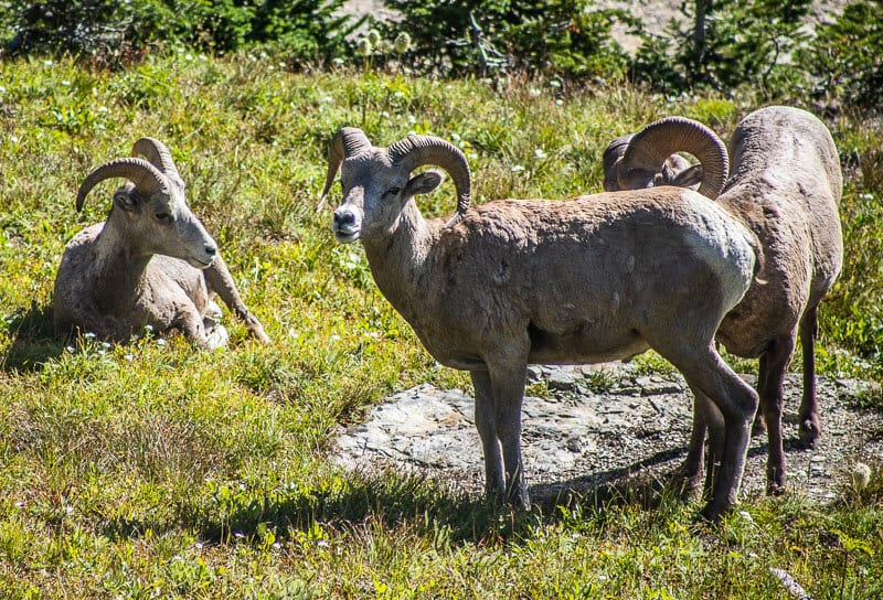 Big Horn Sheep, Glacier Nartional Park, Montana