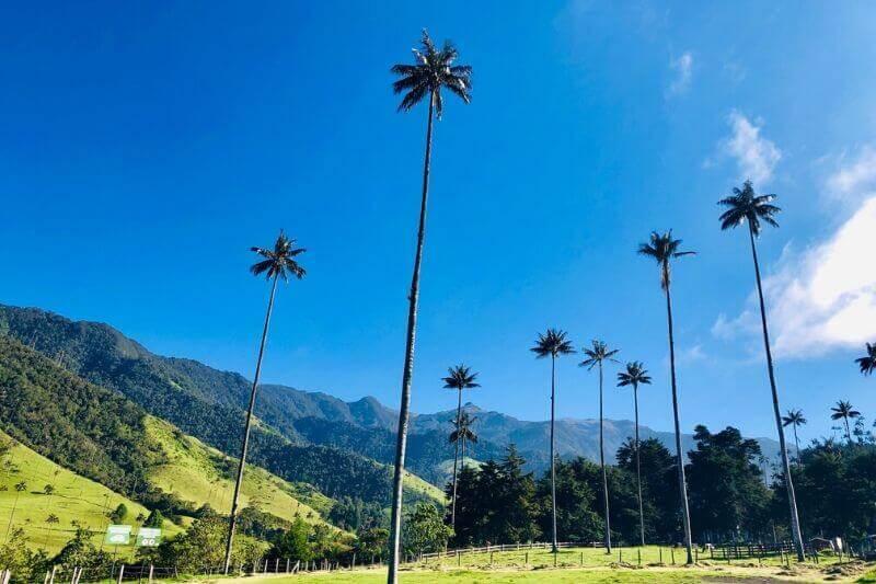 Cocora Wax Palms