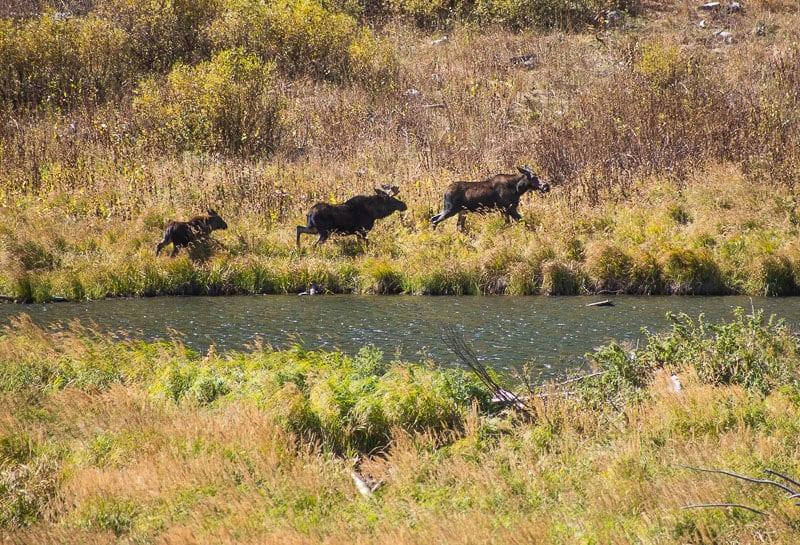Moose at Moose Pond