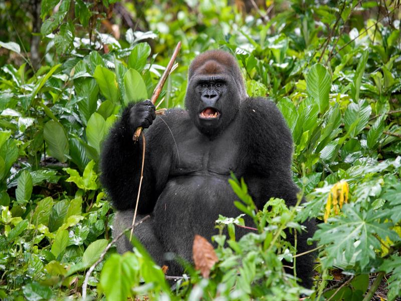 Gorille Bwindi Forêt impénétrable ouganda