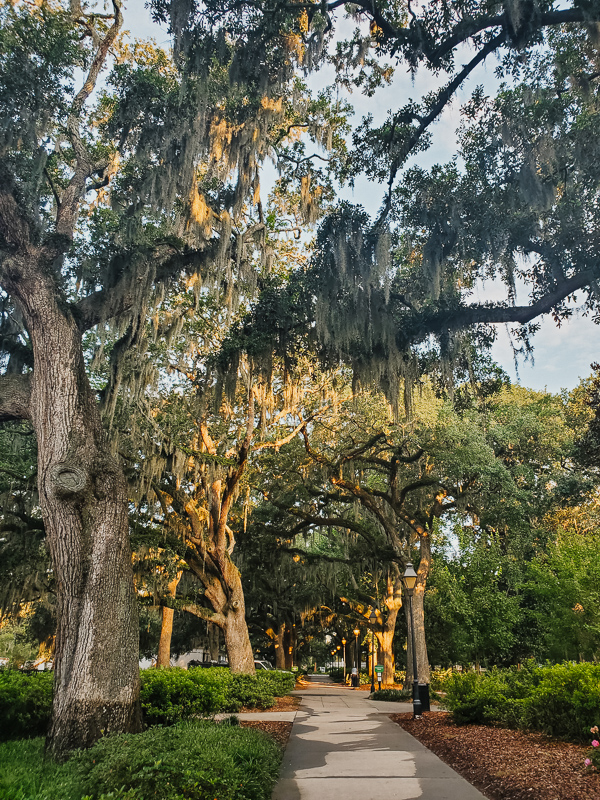 Spanish moss Savannah