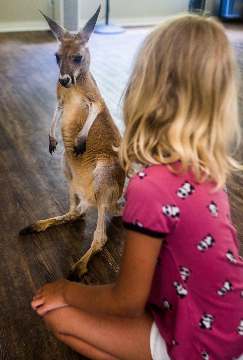 Kangaroo at North Florida Wildlife Center, Monticello, Florida