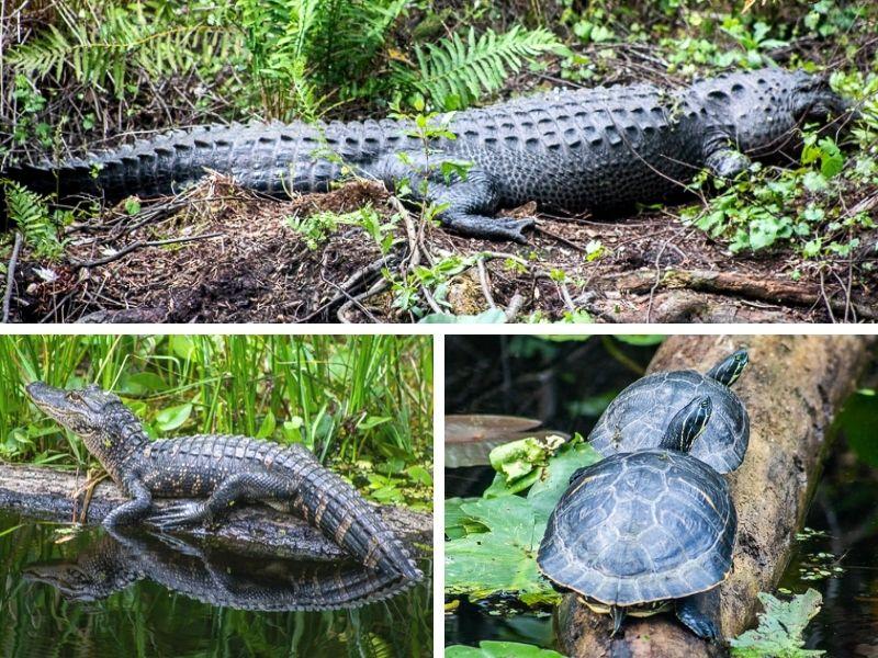 Wildlife at Highlands Hammock State Park, Florida