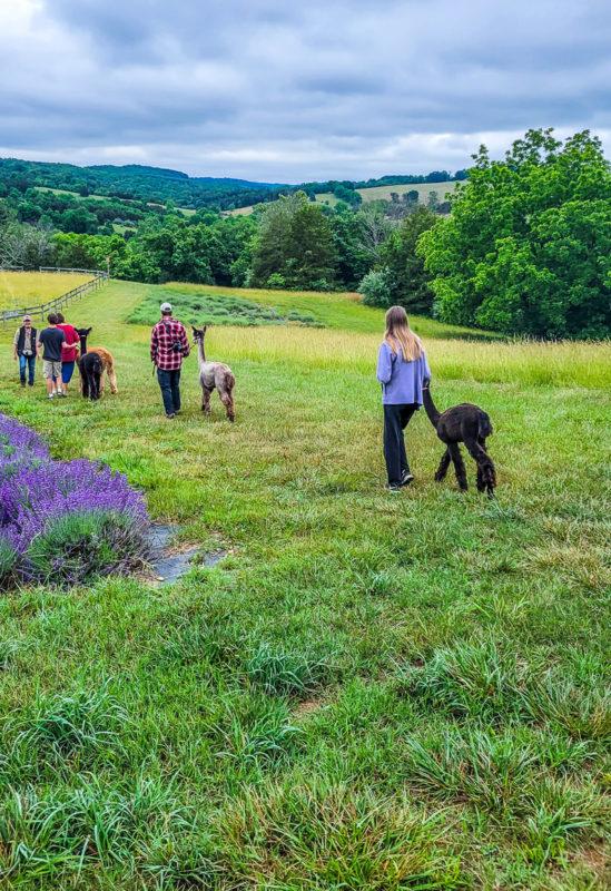 Walking with alpacas at Point of View Alpaca Farm in Virginia