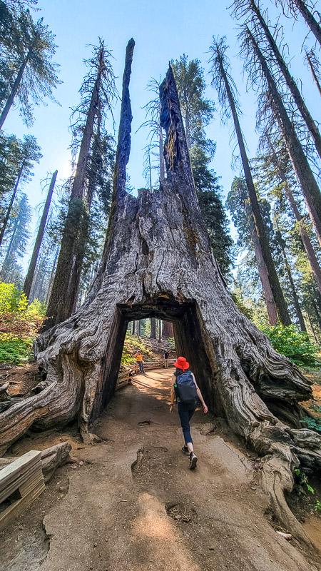 tuolumne grove sequoias